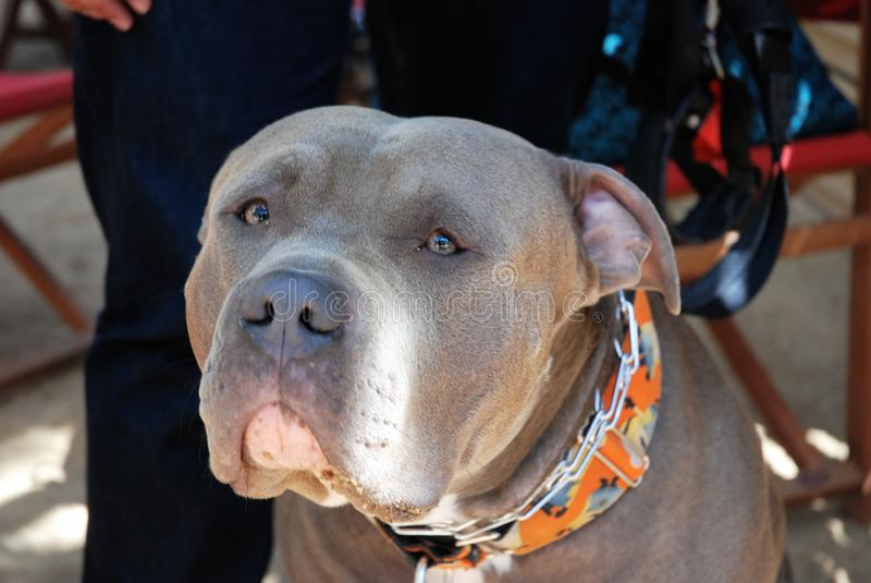 Perro americano del matón foto de archivo libre de regalías