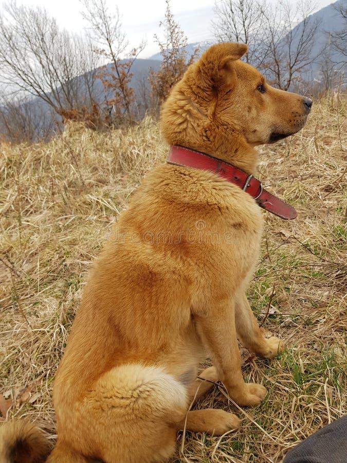 Perro anaranjado fotos de archivo libres de regalías