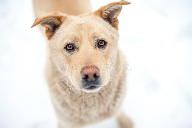 Perro anaranjado abandonado cerca del shalter imagen de archivo libre de regalías
