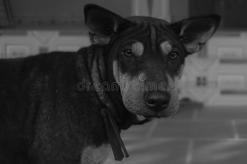 Perro asiático imagenes de archivo