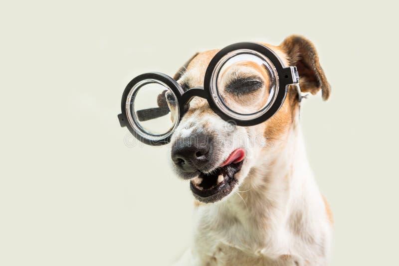 Perro astuto de guiño sospechoso adorable del ojo en vidrios El engañar alrededor De nuevo a perro divertido del bozal de la escu fotografía de archivo