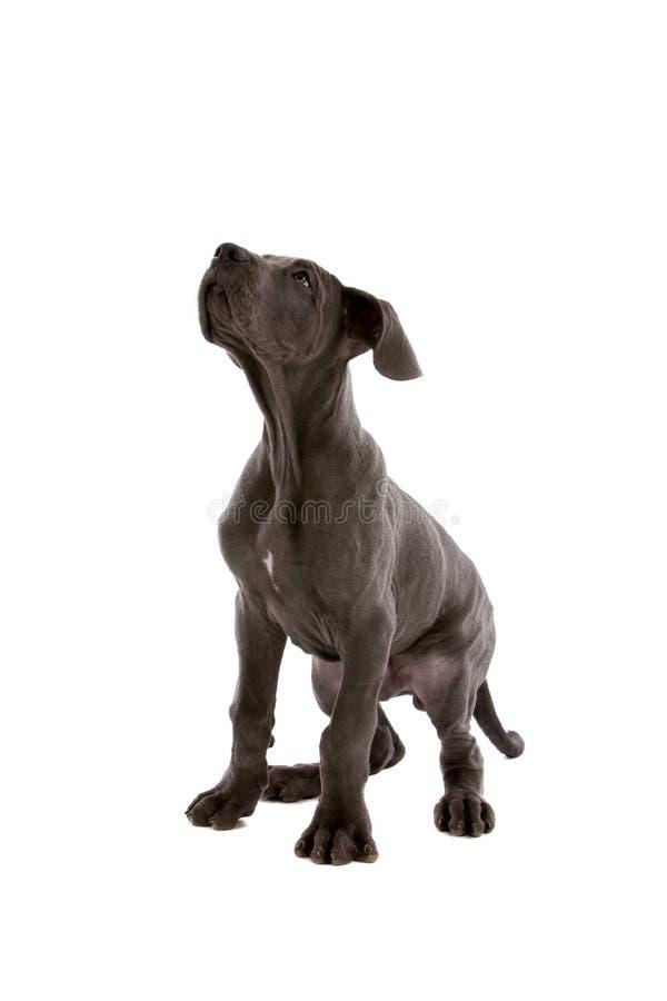 Download Perro atento imagen de archivo. Imagen de doméstico, gris - 7281711