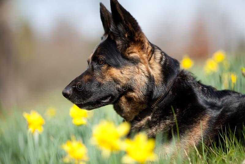 Perro atento de Shepard del alemán en prado fotos de archivo