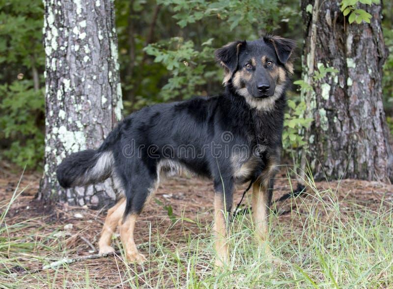 Perro australiano de la mezcla de Retriever del pastor al aire libre en el correo foto de archivo