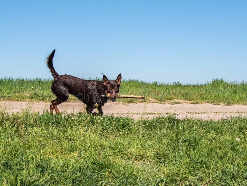 Perro australiano de la raza del Kelpie que juega en la hierba y que nada en el río imagen de archivo