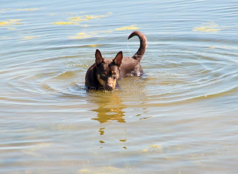 Perro australiano de la raza del Kelpie que juega en la hierba y que nada en el río fotos de archivo