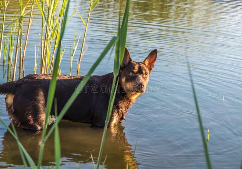 Perro australiano de la raza del Kelpie que juega en la hierba y que nada en el río foto de archivo libre de regalías