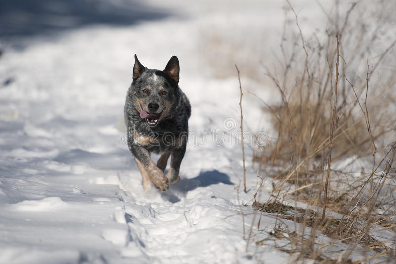 Perro australiano del ganado del heeler azul en nieve profunda imágenes de archivo libres de regalías