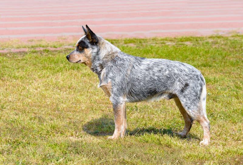 Perro australiano del ganado en perfil imagen de archivo libre de regalías