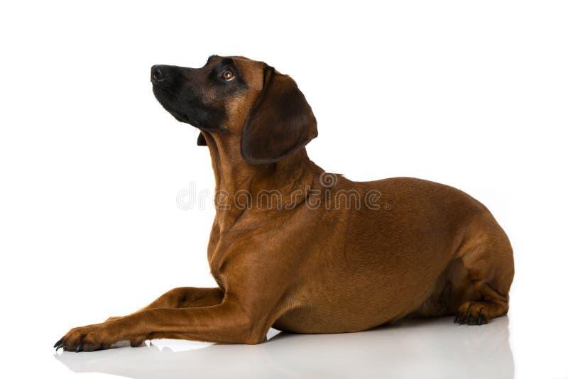 Perro bávaro de la montaña imagen de archivo