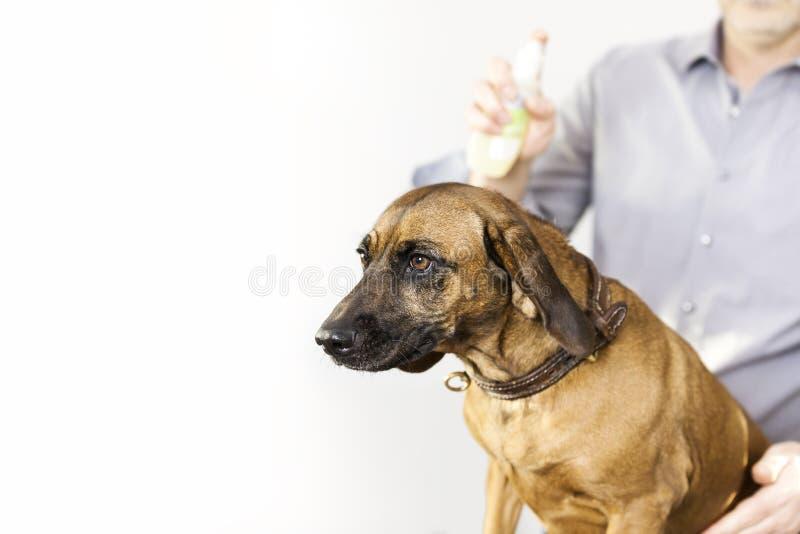 Perro bávaro de la soldadura en el salón del perro fotografía de archivo
