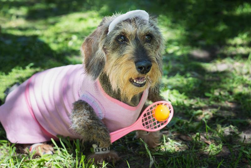 Perro basset atar con alambre-cabelludo del jabalí en el traje rosado del jugador de tenis fotos de archivo libres de regalías