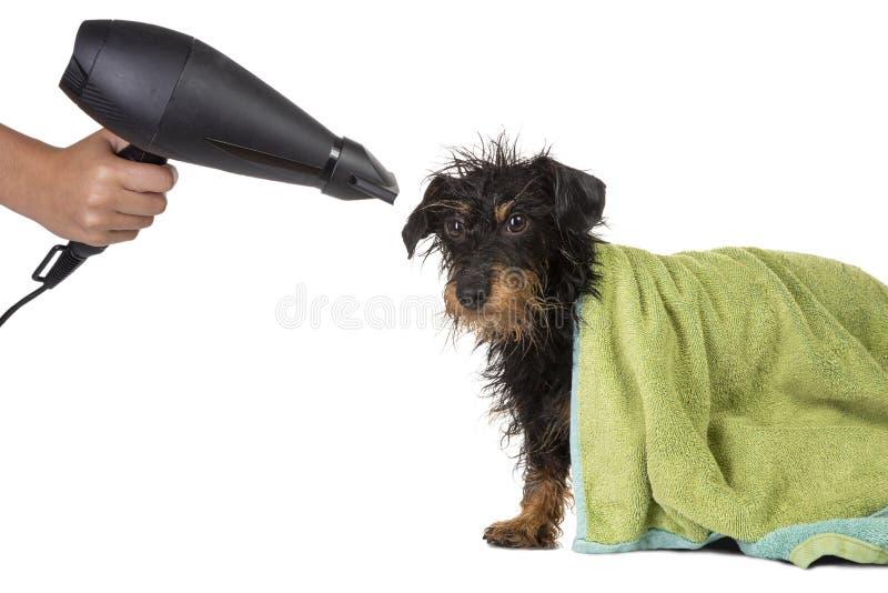 Perro basset cabelludo del alambre que es secado fotos de archivo