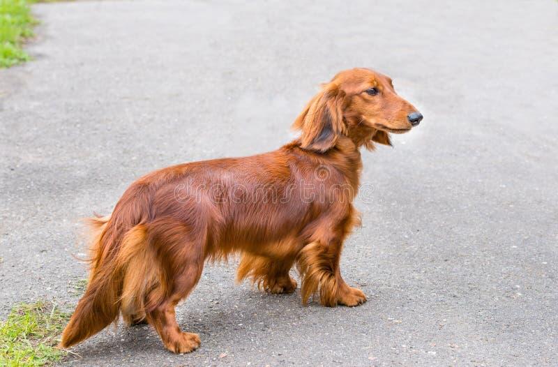 Perro basset a continuación fotografía de archivo libre de regalías