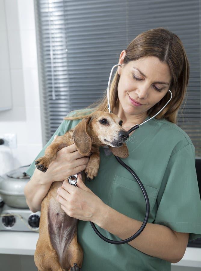 Perro basset de examen del veterinario de sexo femenino con el estetoscopio imagen de archivo