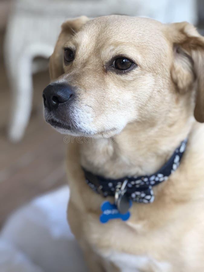 Perro basset del beagle X imagenes de archivo