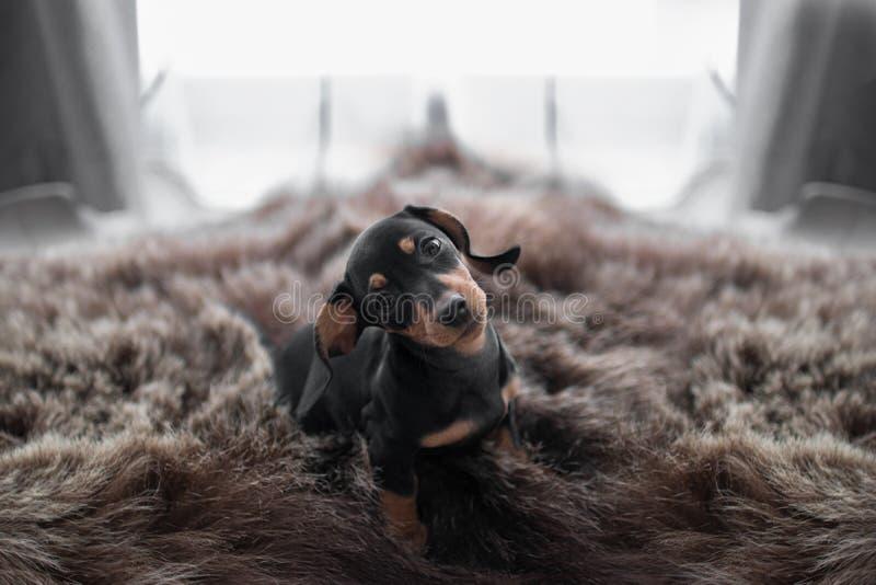 Perro basset del perrito en el fondo y las pieles de oso de la ventana fotos de archivo libres de regalías