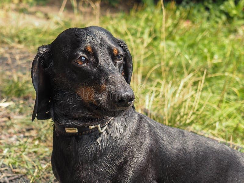 Perro basset del perro fotos de archivo