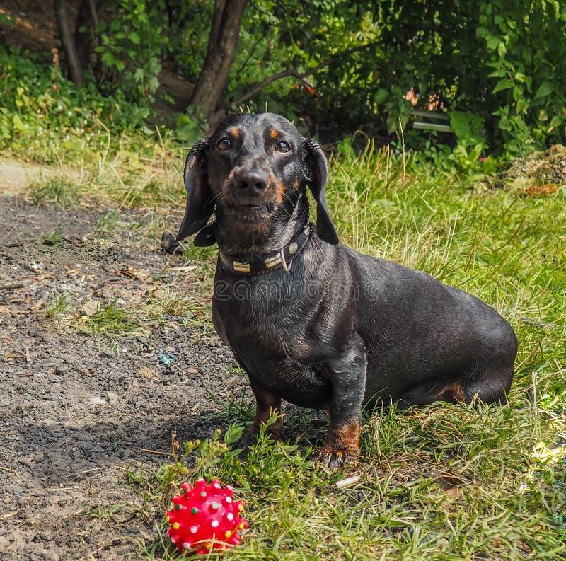Perro basset del perro foto de archivo libre de regalías