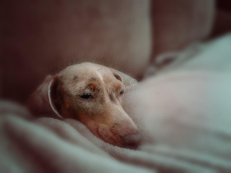 Perro basset dulce fotografía de archivo libre de regalías