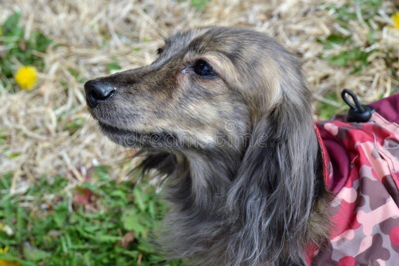 Perro basset en chaqueta rosada imágenes de archivo libres de regalías