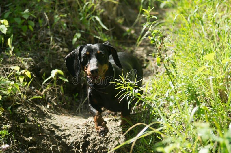 Perro basset en el perro del bosque imagenes de archivo