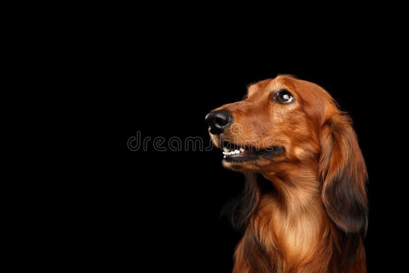 Perro basset en fondo negro foto de archivo libre de regalías