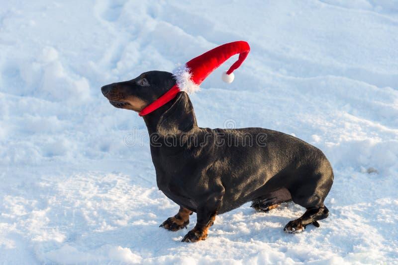 Perro basset en suéter y casquillo en sombrero rojo en nieve fotografía de archivo libre de regalías
