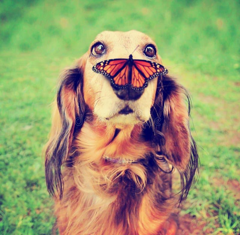 Perro basset lindo en un parque público local con una mariposa en el suyo imagen de archivo libre de regalías