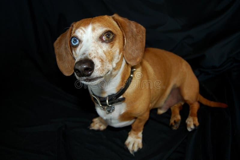Perro basset multicolor de los ojos fotografía de archivo libre de regalías
