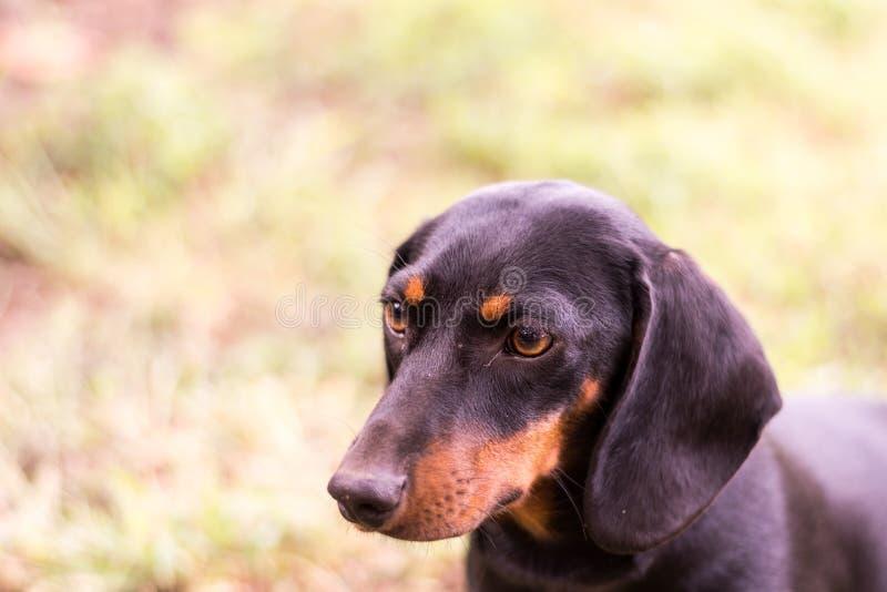 Perro basset negro con el foco selectivo y el fondo borroso imágenes de archivo libres de regalías