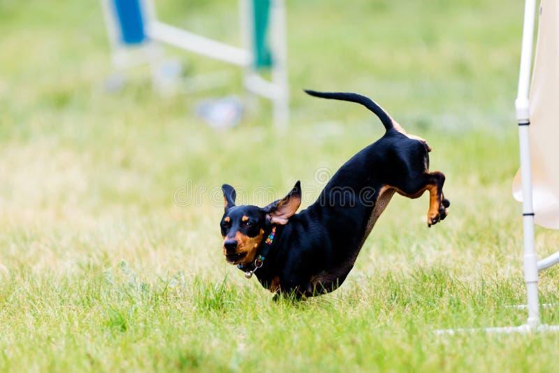 Perro basset negro - perro de salchicha que salta en yarda del entrenamiento de la agilidad fotos de archivo libres de regalías