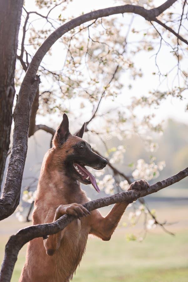 Perro belga hermoso de los malinois del pastor fotos de archivo libres de regalías