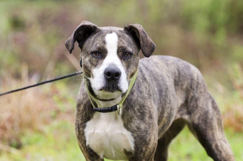 Perro berrendo y blanco de Pitbull Terrier del americano con el cuello verde en el correo imagen de archivo libre de regalías
