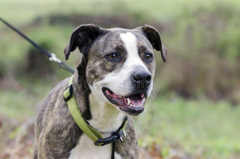 Perro berrendo y blanco de Pitbull Terrier del americano con el cuello verde en el correo fotografía de archivo