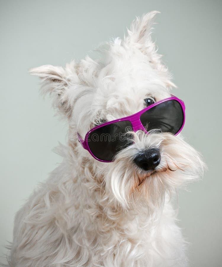 Perro blanco con las gafas de sol del encanto fotografía de archivo libre de regalías