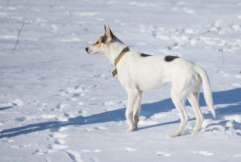 Perro blanco con los puntos negros sstanding en una nieve fresca en el día de invierno soleado imágenes de archivo libres de regalías