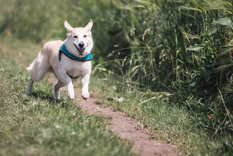 Perro blanco con Teal Collar Running Outside fotos de archivo