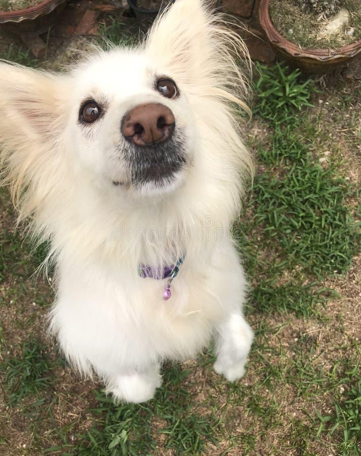 Perro blanco de raza mezclada con ojos brillantes mirando el bocadillo en la mano humana imágenes de archivo libres de regalías