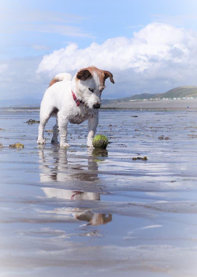 Perro blanco de Russell del enchufe en la playa con una bola imagen de archivo