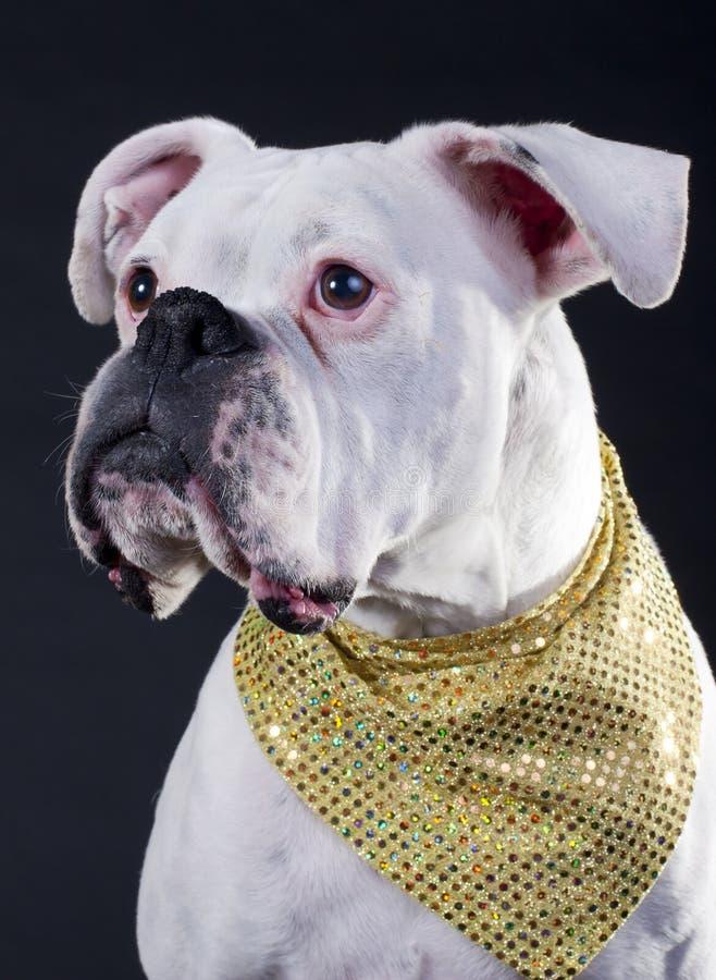 Perro blanco del boxeador imagen de archivo libre de regalías