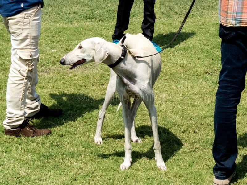 Perro blanco del color de la raza del borzaya de Hortaya fotos de archivo