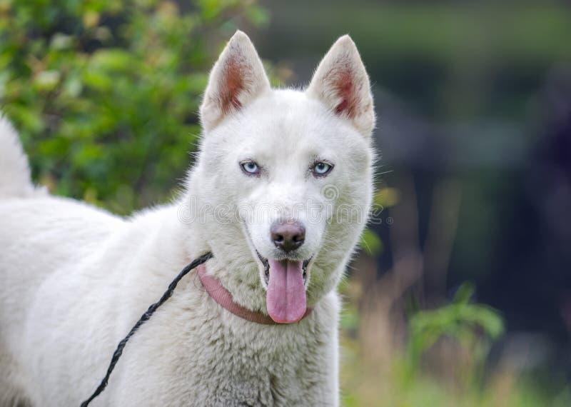 Perro blanco del husky siberiano imagenes de archivo