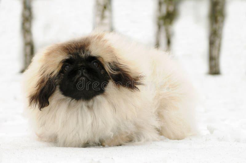 Perro blanco del pekinese en la nieve fotografía de archivo libre de regalías