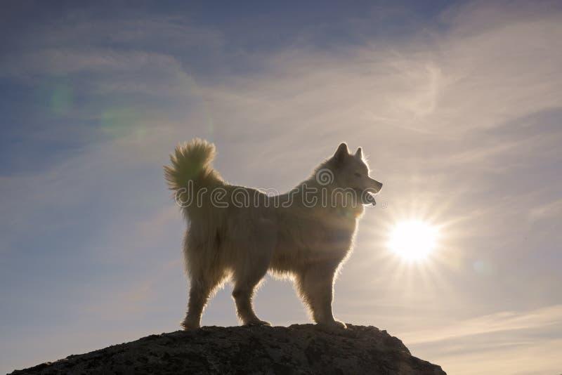Perro blanco feliz del samoyedo encima de la montaña imágenes de archivo libres de regalías