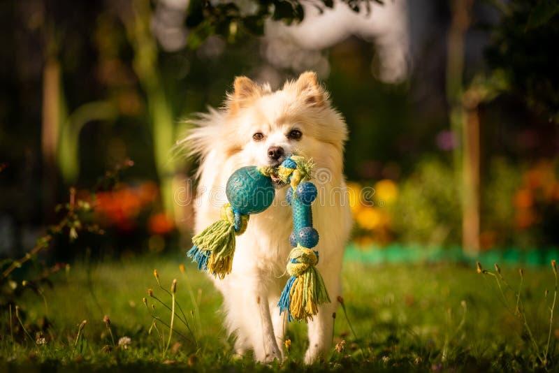 Perro blanco hermoso - klein alemán pomeranian del perro de Pomerania que trae un juguete que corre hacia cámara imágenes de archivo libres de regalías