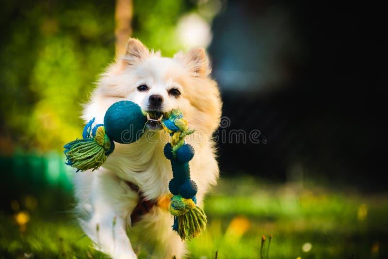 Perro blanco hermoso - klein alemán pomeranian del perro de Pomerania que trae un juguete que corre hacia cámara fotografía de archivo libre de regalías