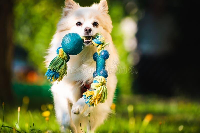 Perro blanco hermoso - klein alemán pomeranian del perro de Pomerania que trae un juguete que corre hacia cámara imagenes de archivo