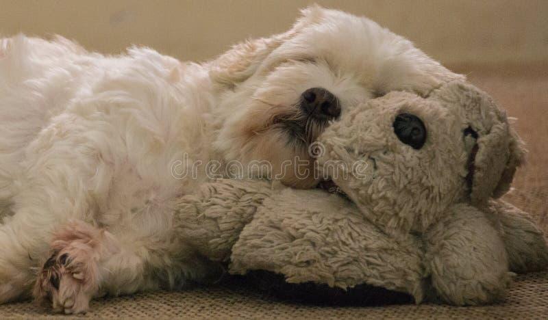 Perro blanco lindo de Lhasa Apso que duerme en un perro imágenes de archivo libres de regalías