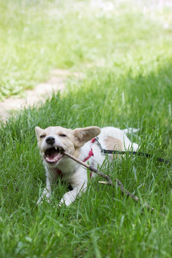 Perro blanco lindo que juega con un palillo, en el parque imagenes de archivo
